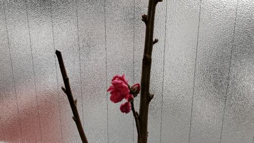「桃の枝でした(*^-^*)」02/26(02/26) 12:30   イシダの写メ