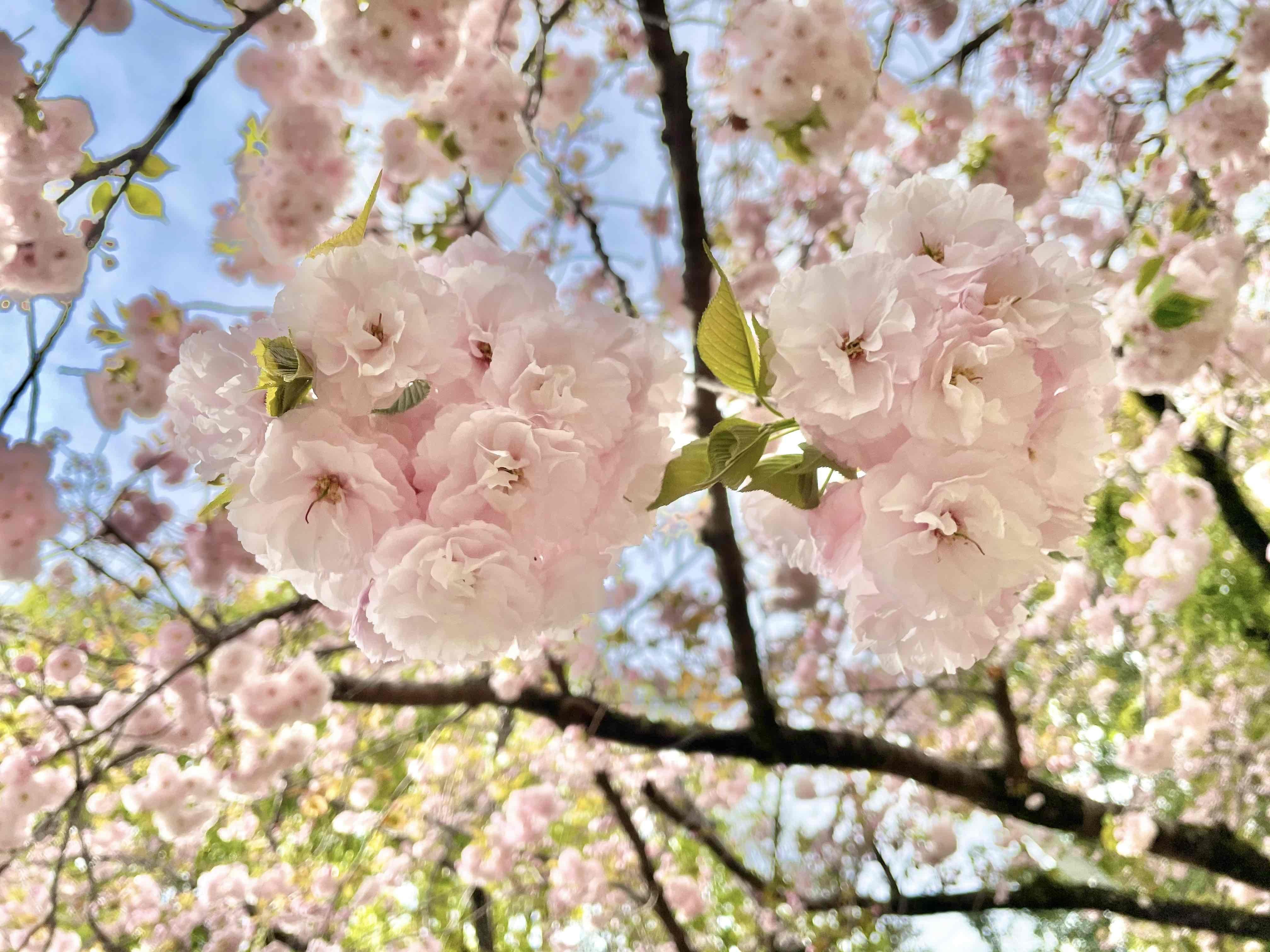 「先日のお花見で」04/04(04/04) 16:52 | 辻(つじ)の写メ