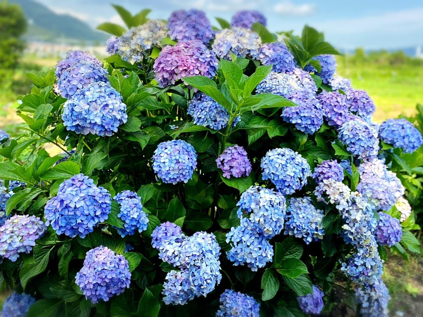 「紫陽花♪(о´∀`о)」06/22(06/22) 14:39   かおり【真性M女】の写メ