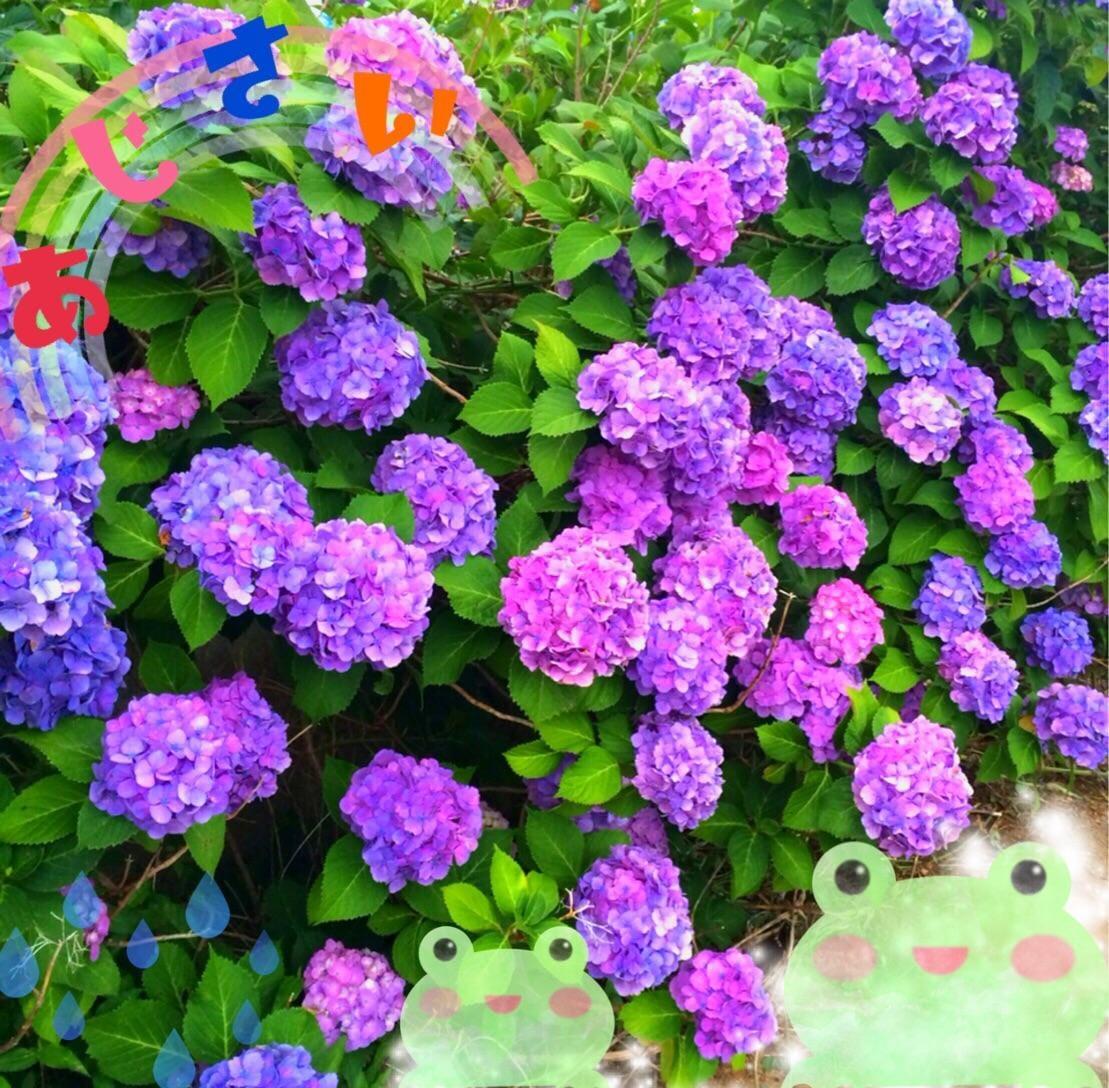 「紫陽花☆」06/16(06/16) 17:48 | りのちゃん☆☆の写メ・風俗動画