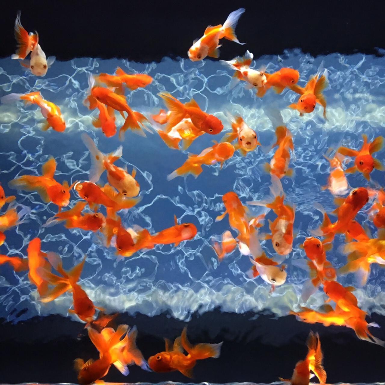 「涼しげな金魚から…♪」07/11(07/11) 09:34 | さくらこの写メ・風俗動画